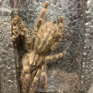 """Sri Lankan Ornamental (Poecilotheria Fasciata) Tarantula Juvenile (1.5-2.5"""")"""