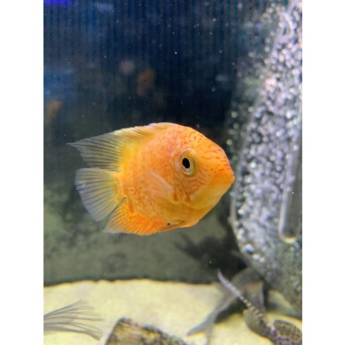 Severum Red Spot Gold MD