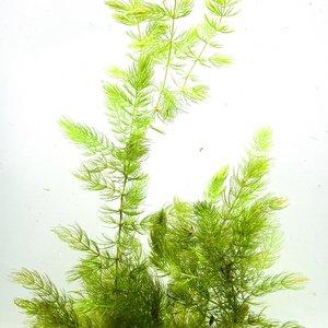Hornwort Bunch