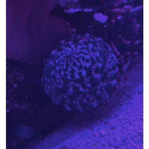 White Foot Trochus Snail RG