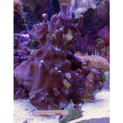 """(WYSIWYG 13153) Blue Ridge Coral (10-12"""")"""