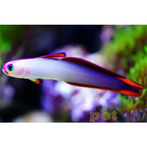 "Purple Firefish LG (2.5-3"")"