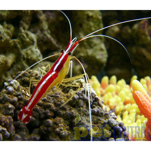 Cleaner Shrimp MD