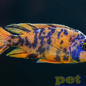 Orange Blotch (OB) Peacock LG Male