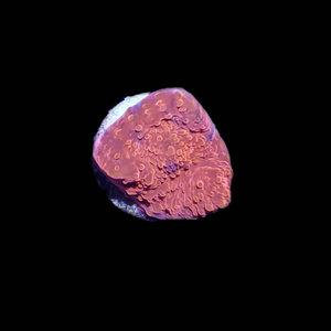 "Australian Metallic Red Chalice Frag (1"")"
