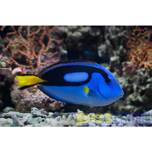 "Larval Reared Blue Hippo Tang MD (2-3"")"