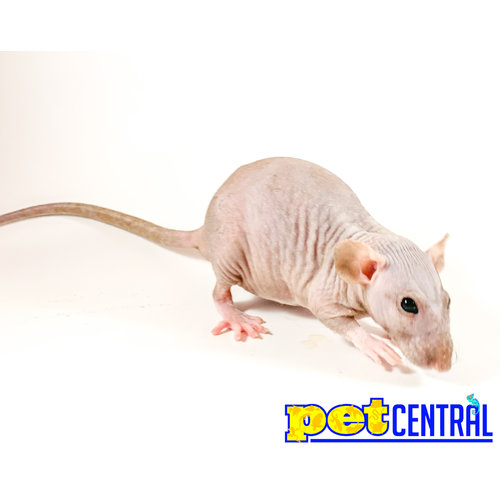 Adult (Weaned) Hairless Rat Female MD