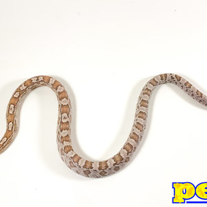 "Coral Ghost Corn Snake Baby (10-18"")"