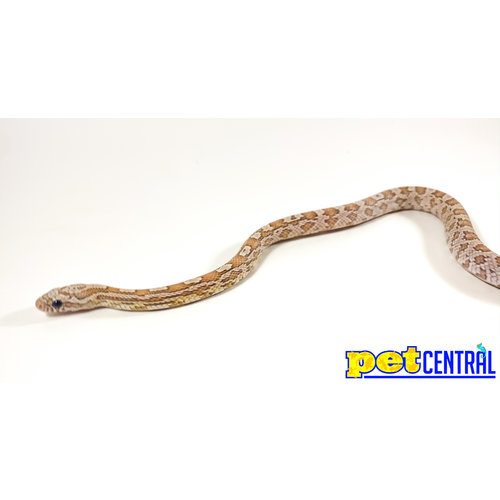 """Coral Ghost Corn Snake Baby (10-18"""")"""