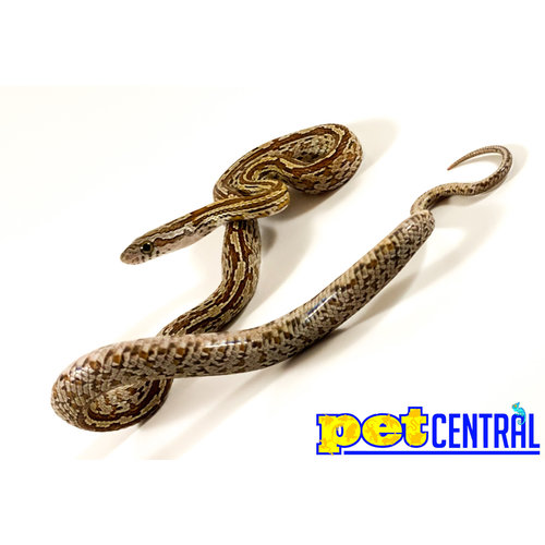 "Tessera Corn Snake Baby (10-18"")"