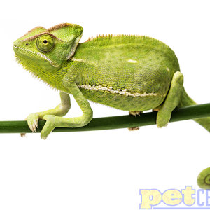 Veiled Chameleon Female Adult LG