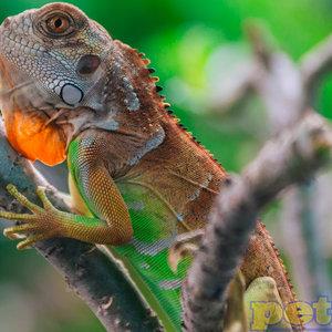 """Red Iguana Baby (12-21"""")"""