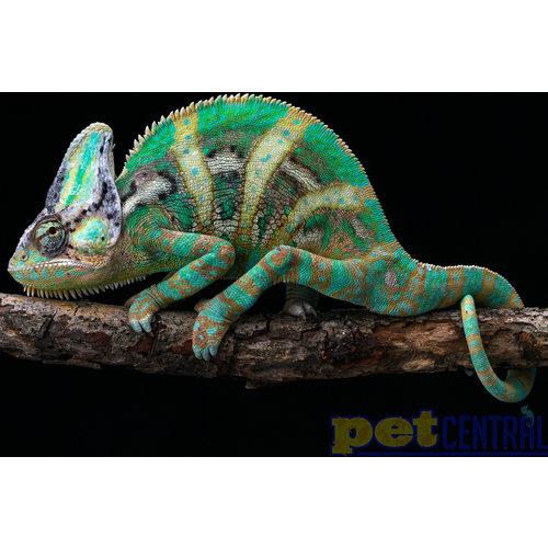 Veiled Chameleon Male Adult XL