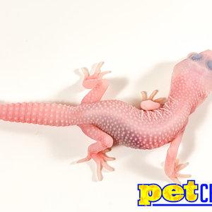 "Albino Leucistic Super Mack Snow Leopard Gecko Juvenile (4-6"")"