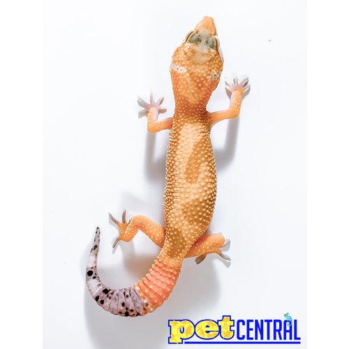 Hypomelanistic Jungle Designer Leopard Gecko Juvenile