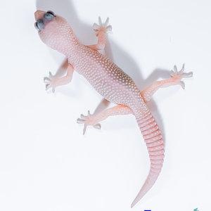 "Diablo Blanco (Solid Red Eyes) Leopard Gecko Juvenile (4-6"")"