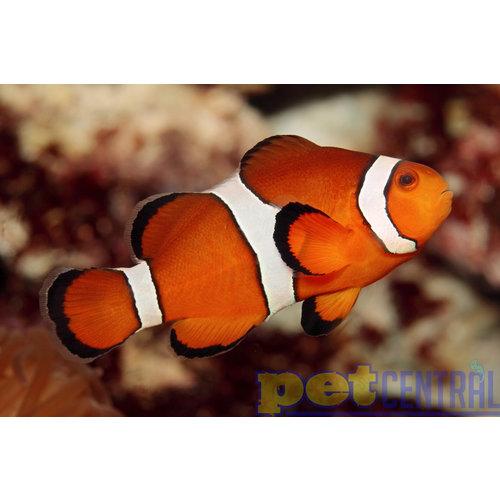 SA Ocellaris Clownfish Jumbo Pair