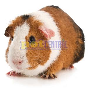 Baby Guinea Pig (3-6 Weeks)