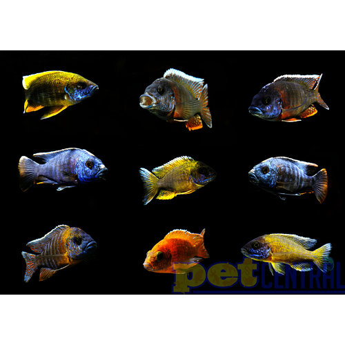 Assorted Peacock Cichlid SM Unsexed