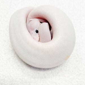 "Super Fire/Black Eyed Leucistic Ball Python Baby (15-20"")"
