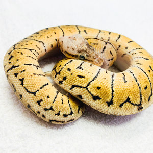 Lemonblast Spotnose Ball Pythons Male Baby