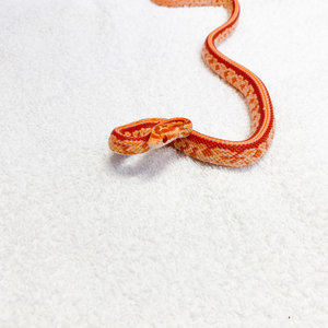 "Amel Tessera Corn Snake Baby (10-18"")"