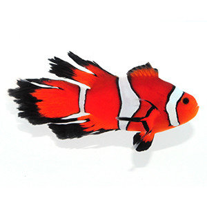 Sustainable Aquatics Fancy Longfin Clownfish MD