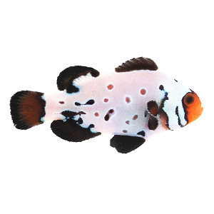 Sustainable Aquatics Frostbite - Absolute Zero Clownfish MD