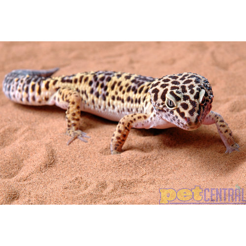 Leopard Gecko Male Adult LG (1 Year or Less)
