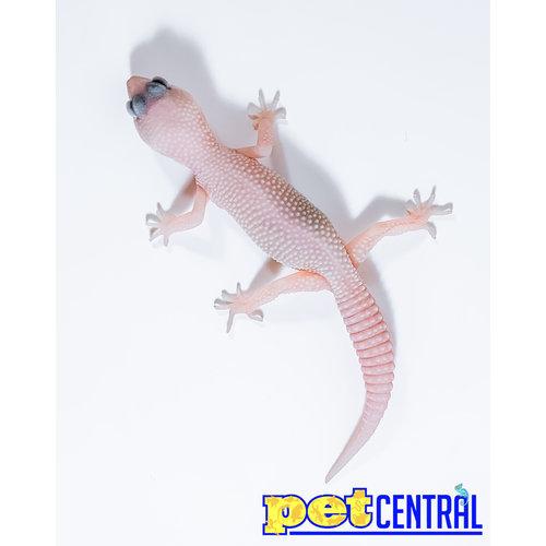 Diablo Blanco (Snake Eyes) Leopard Gecko Juvenile