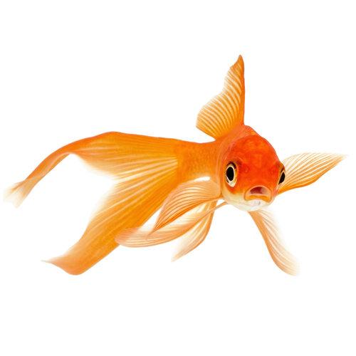 "Assorted Goldfish LG   11-12"""