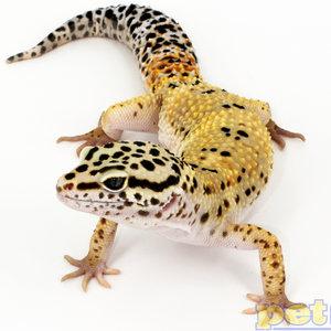 Assorted Leopard Gecko Adult