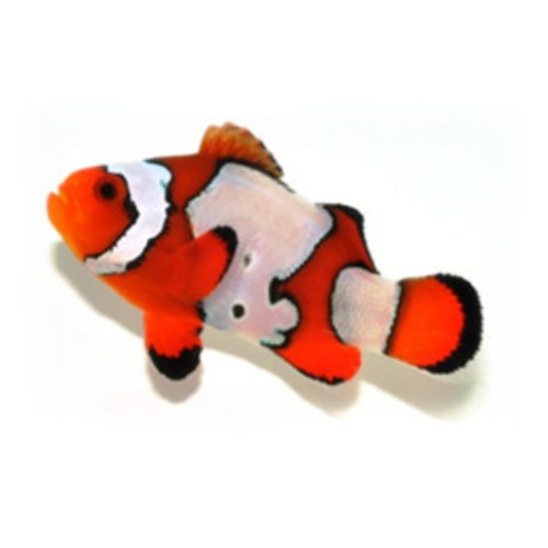 Sustainable Aquatics Ocellaris Clownfish Snowflake SM