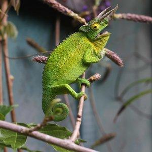 Jackson's Chameleon Adult Male