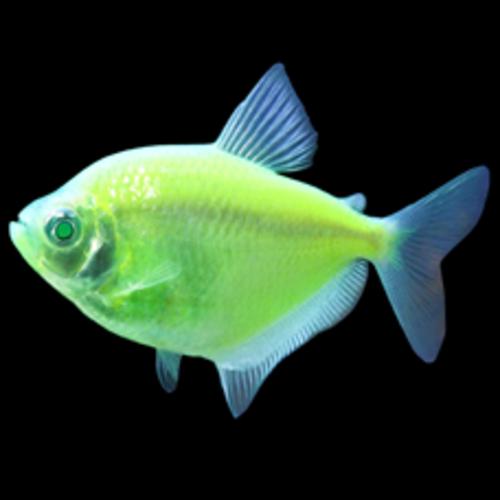 Glofish® Tetra Electric Green RG