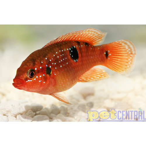Red Jewel Cichlid RG