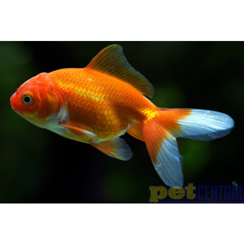 Red  Fantail Goldfish MD
