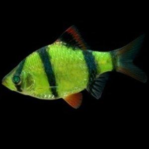 Glofish® Barb Electric Green®