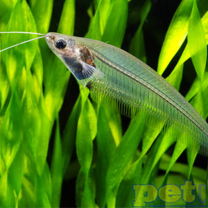 Glass Catfish RG