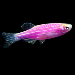 Glofish® Glofish® Danio Galactic Purple® RG