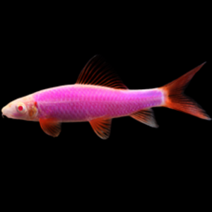 Glofish® Shark RG Galactic Purple® RG