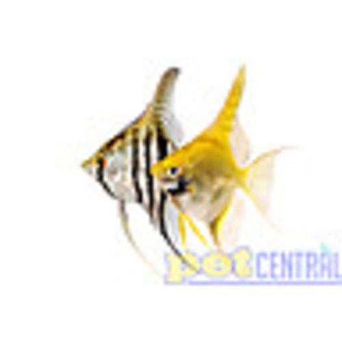 Assorted Angelfish RG
