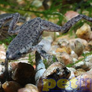 African Dwarf Frog RG