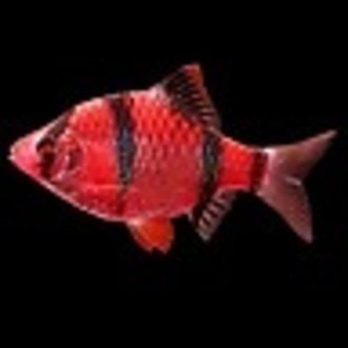 Glofish® Barb Starfire Red®