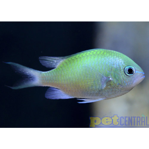 Green Chromis MD