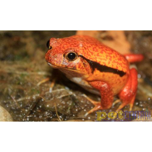 Tomato Frog Baby