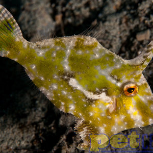 Green Filefish SM