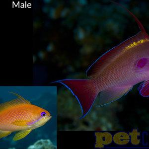 Lyretail Anthias Male MD