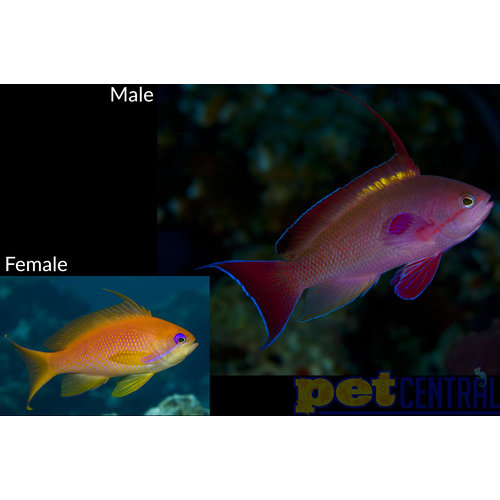 Lyretail Anthias MD Male