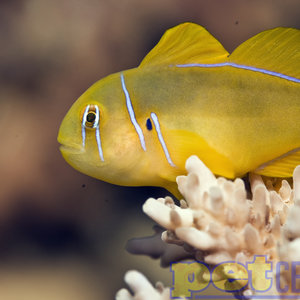 Citron Goby Assorted